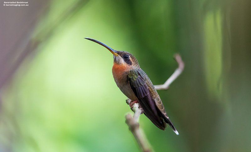 Band-tailed Barbthroat male