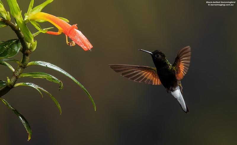Black-bellied Hummingbird male