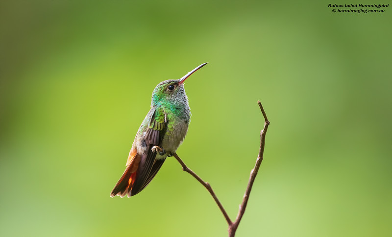 Rufous-tailed Hummingbird male
