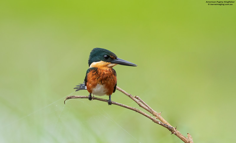 American Pygmy Kingfisher imm male