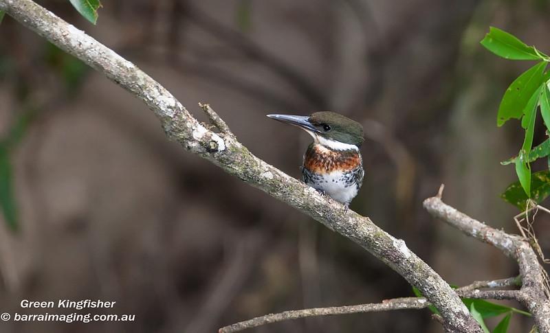 Green Kingfisher male