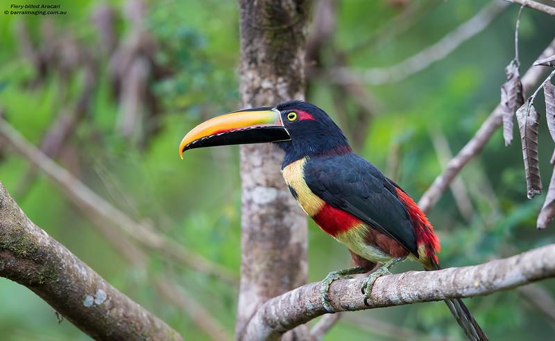 Fiery-billed Aracari