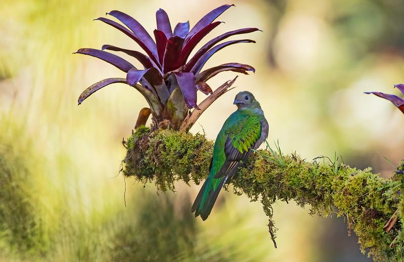 Resplendent Quetzal female