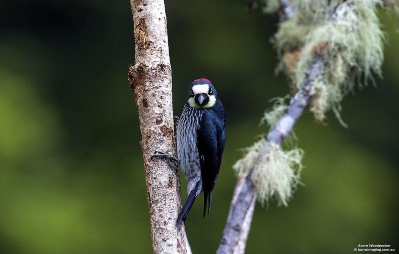 Acorn Woodpecker female