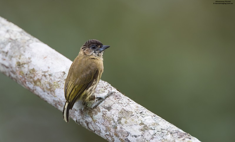 Olivaceous Piculet female
