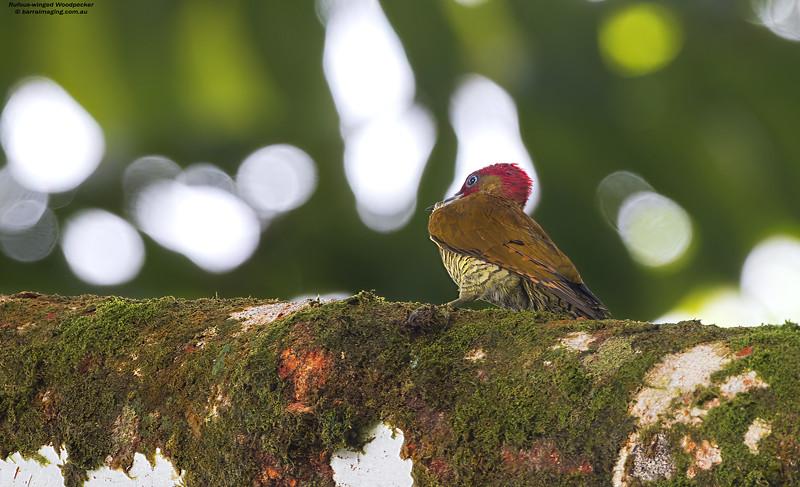 Rufous-winged Woodpecker male