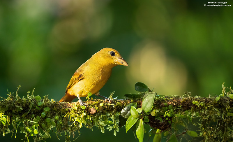 Summer Tanager immature male
