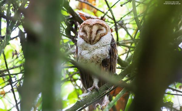 American Barn Owl