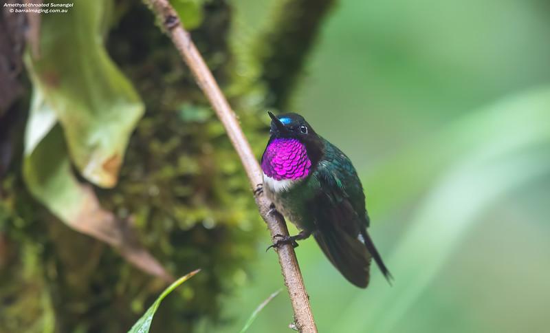 Amethyst-throated Sunangel male