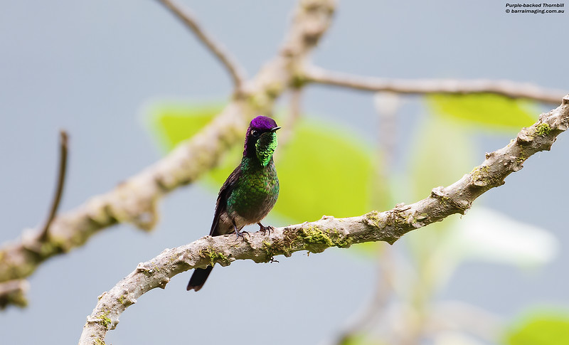 Purple-backed Thornbill male