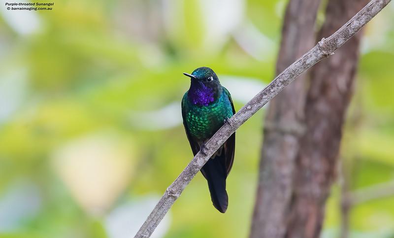 Purple-throated Sunangel male