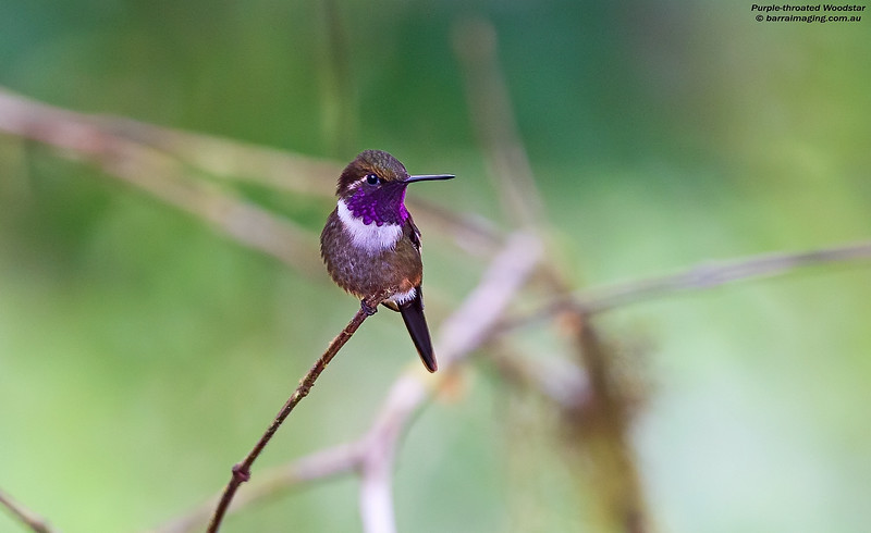 Purple-throated Woodstar male