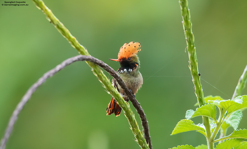 Spangled Coquette male