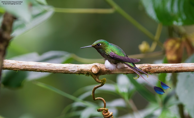 White-booted Raquet-tailed male