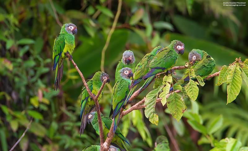 Dusky-headed Parakeet