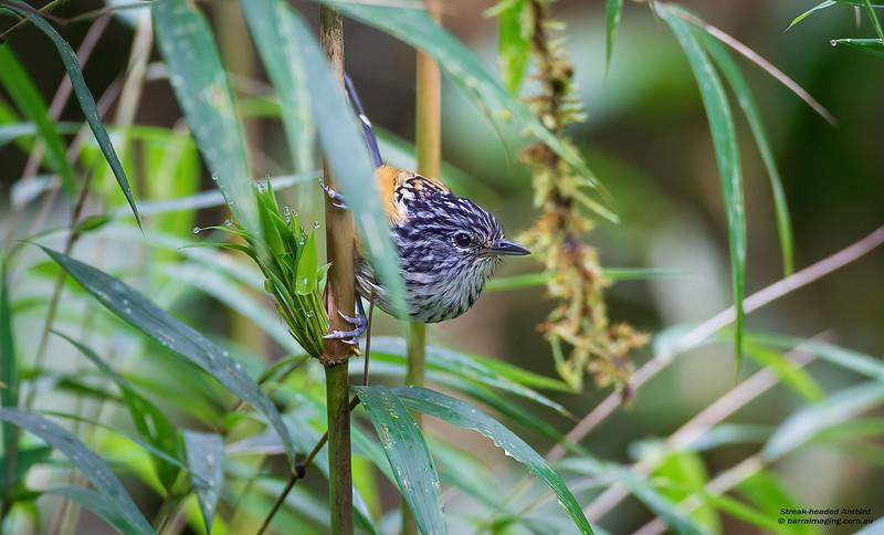 Streak-headed Antbird male