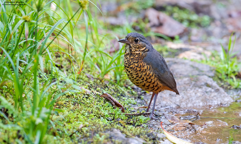 Undulated Antpitta