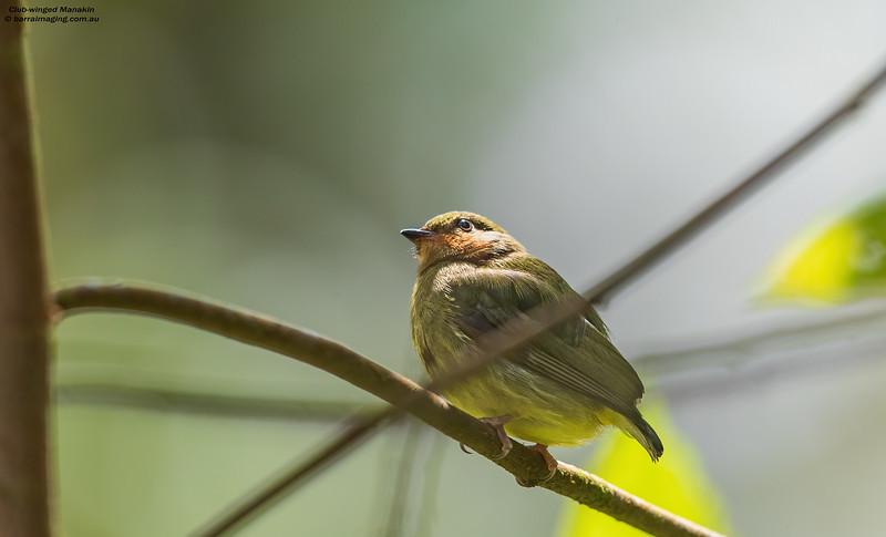 Club-winged Manakin female