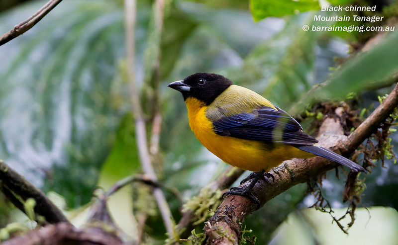 Black-chinned Tanager