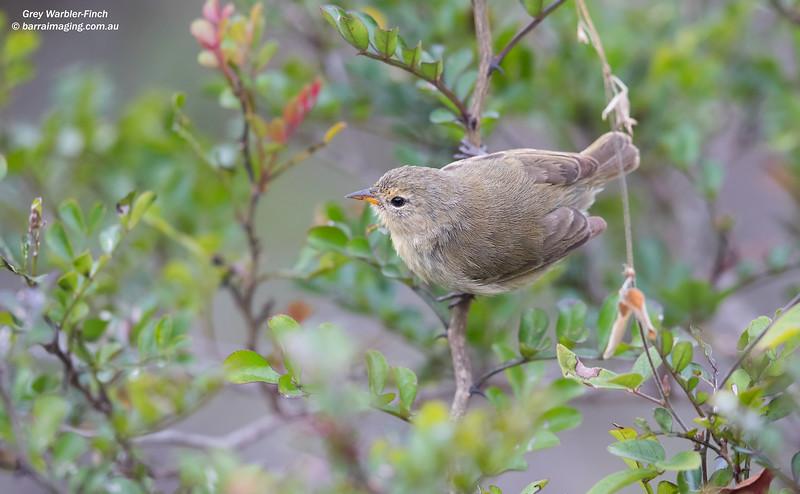 Grey Warbler-Finch