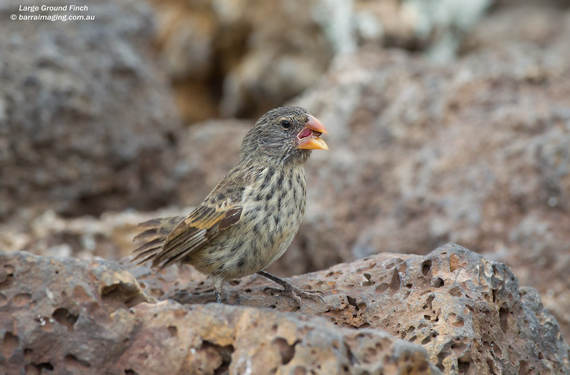 Large Ground Finch female