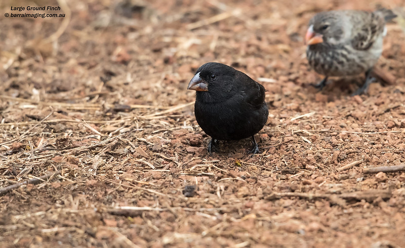 Large Ground Finch male