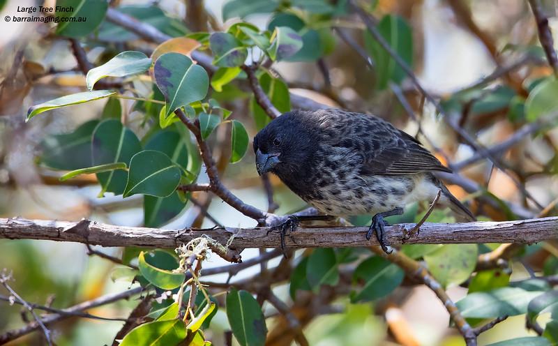 Large Tree Finch male