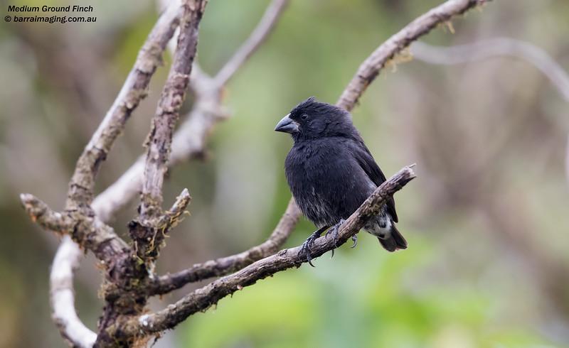 Medium Ground Finch male
