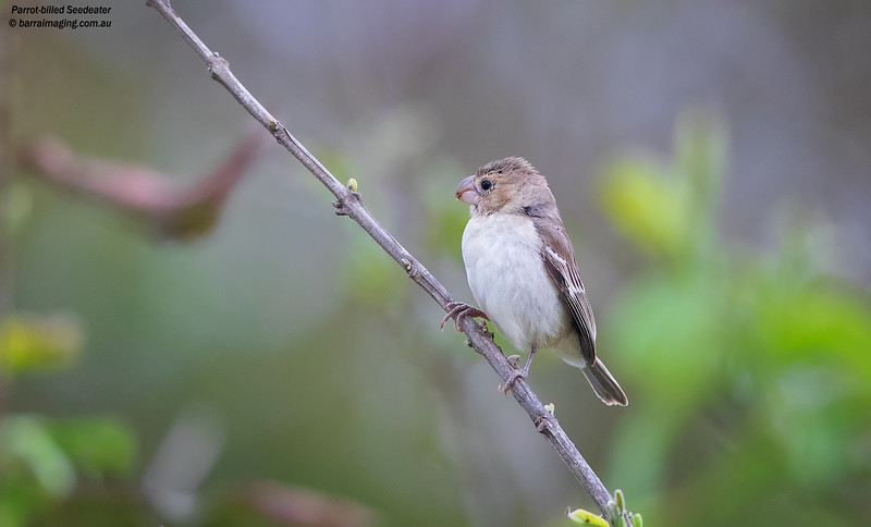 Parrot-billed Seedeater female