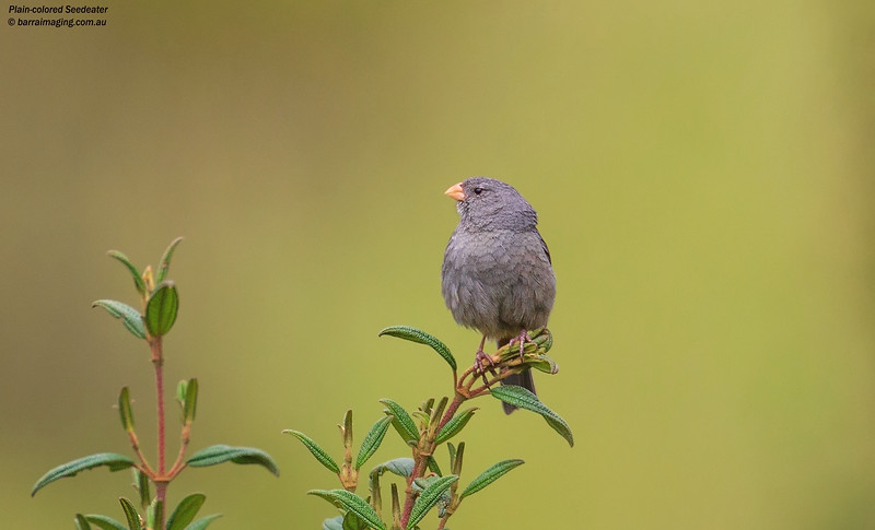 Plain-colored Seedeater male