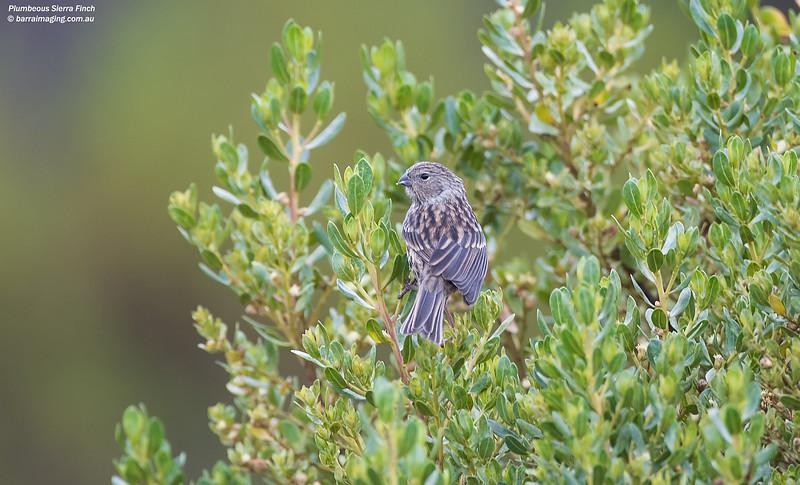 Plumbeous Sierra Finch female