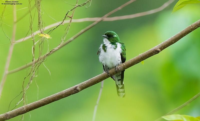 Klaas's Cuckoo male