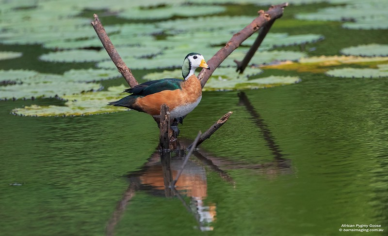 African Pygmy Goose male