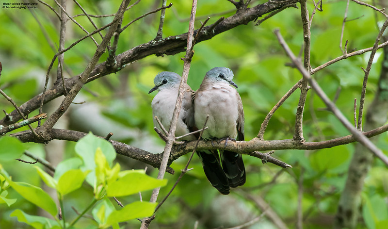 Black-billed Wood Dove