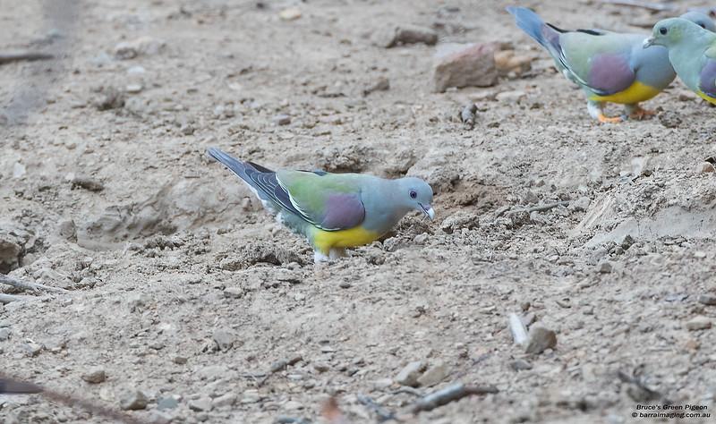 Bruce's Green Pigeon