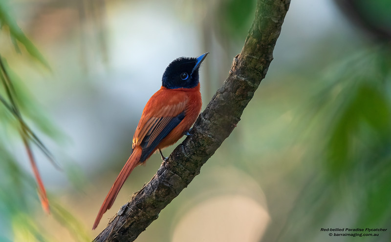 Red-bellied Paradise Flycatcher female