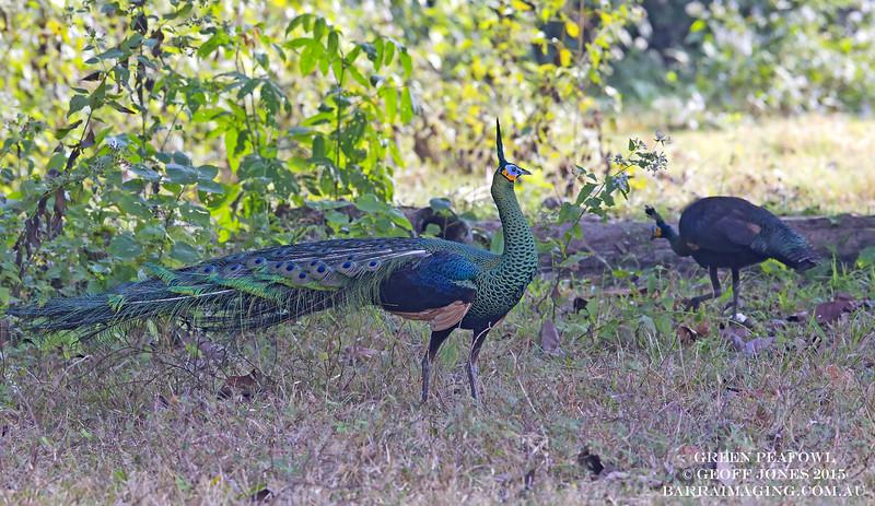Green Peafowl male
