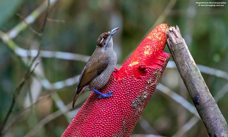 Magnificent Bird-of-paradise female