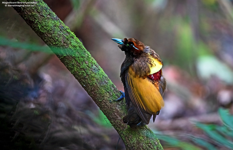 Magnificent Bird-of-paradise male