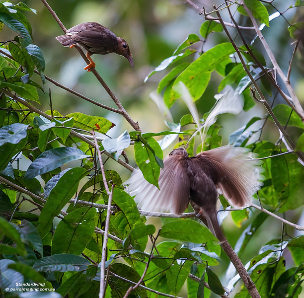 Standardwing male and female