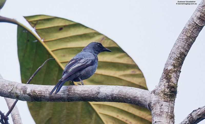 Sulawesi Cicadabird male