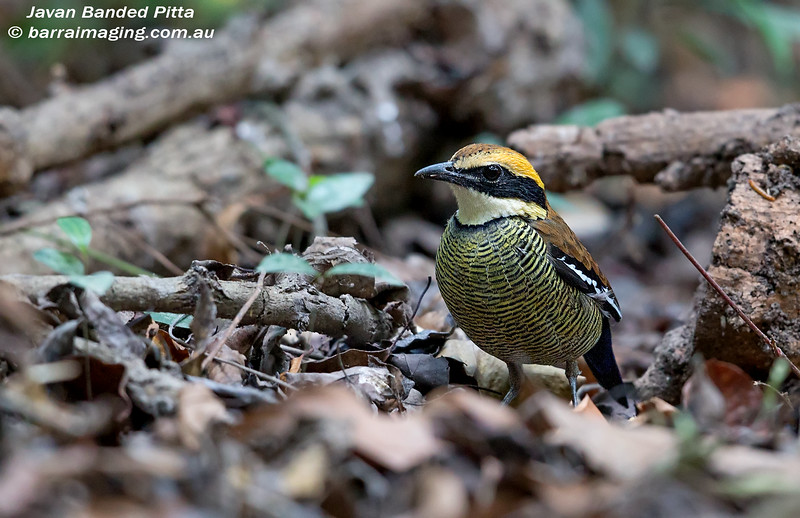 Javan Banded Pitta female