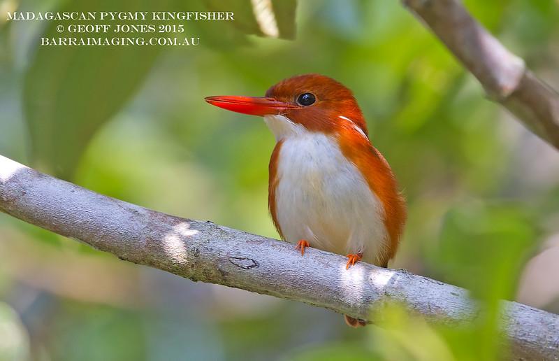 Madagascan Pygmy Kingfisher