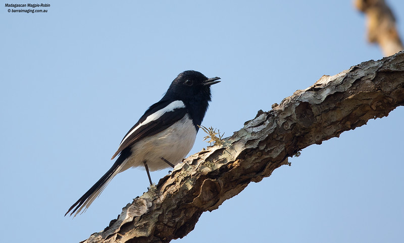 Madagascan Magpie-Robin male