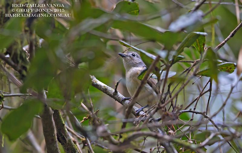 Red-tailed Vanga female