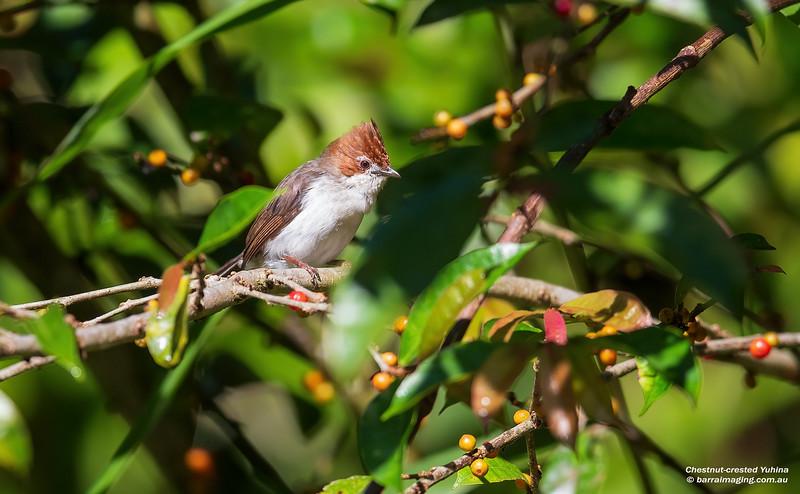Chestnut-crested Yuhina