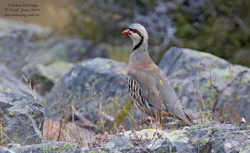 Chukar Partridge