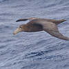 Northern Giant Petrel imm