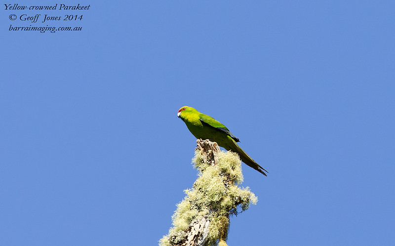 Yellow-crowned Parakeet