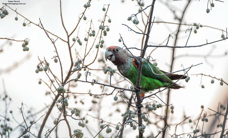 Cape Parrot female